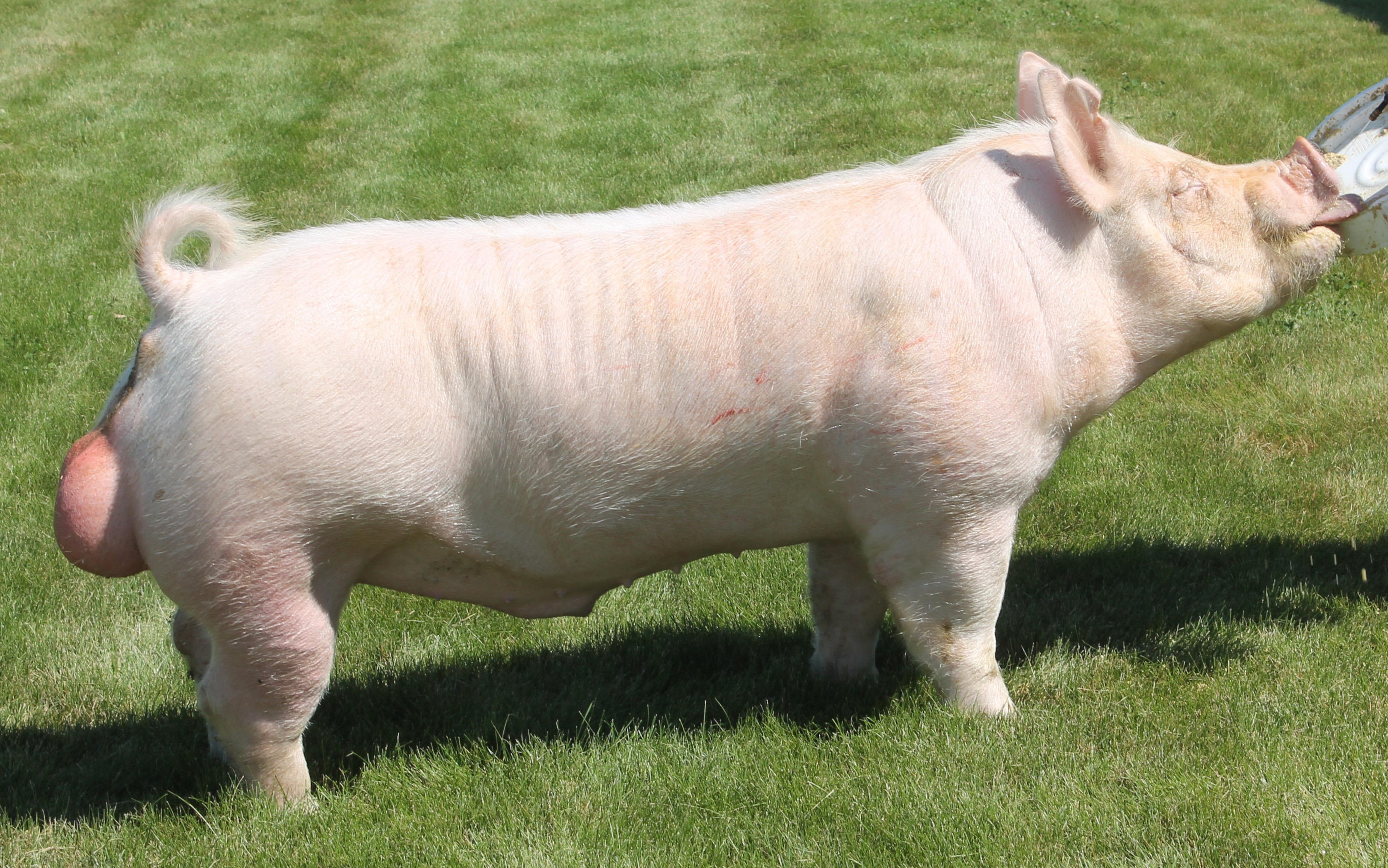 sire private drive dam platt attackmother of moonwalk bred by platt showpigs ear notch 39 1 registration 564208001